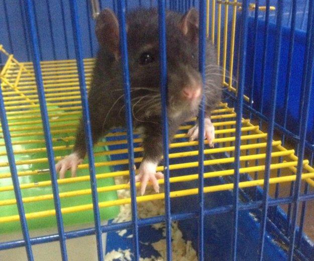 Крыса. Фото 1.