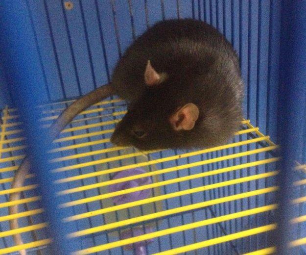 Крыса. Фото 2.
