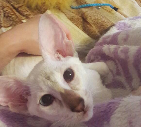 Ориентальный котёнок. Фото 2.