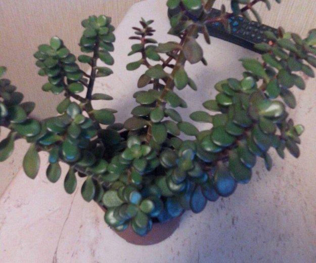 Живое дерево с мелкими листочками. Фото 1. Омск.