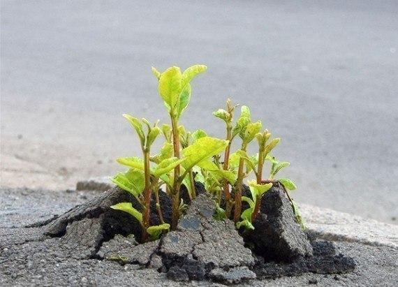 Семена белого клевера  (дания )dlf trifolium. Фото 1. Санкт-Петербург.