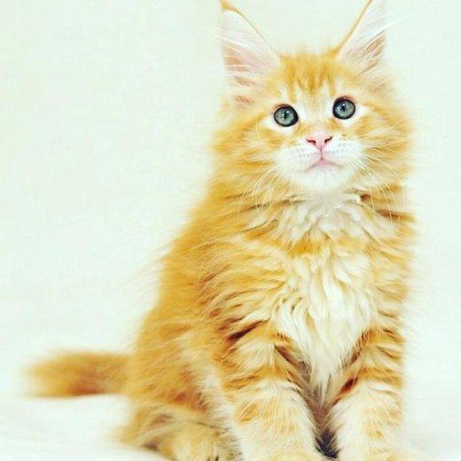 Кот майкун. Фото 1. Саратов.