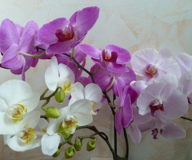 Орхидеи(оптом и в розницу). Фото 1. Балашиха.