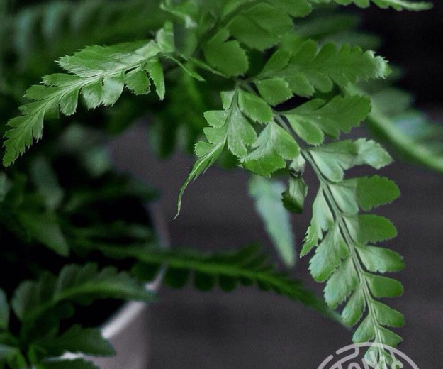 "Румора ""variegata"". Фото 1. Хабаровск."