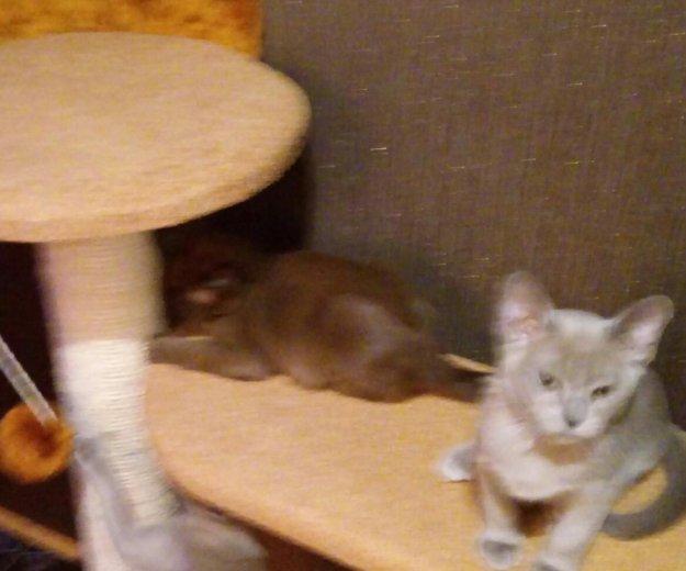 Котята европейской бурмы. Фото 1. Ижевск.