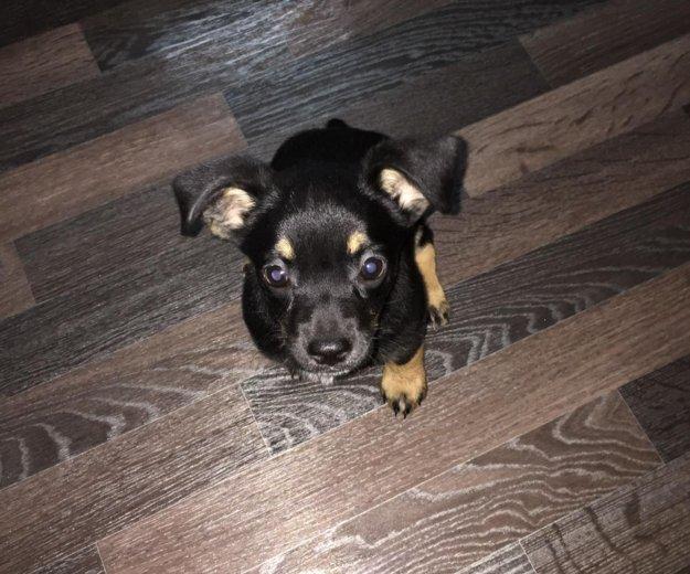 Срочно отдаём щенка пинчера!!!. Фото 1.