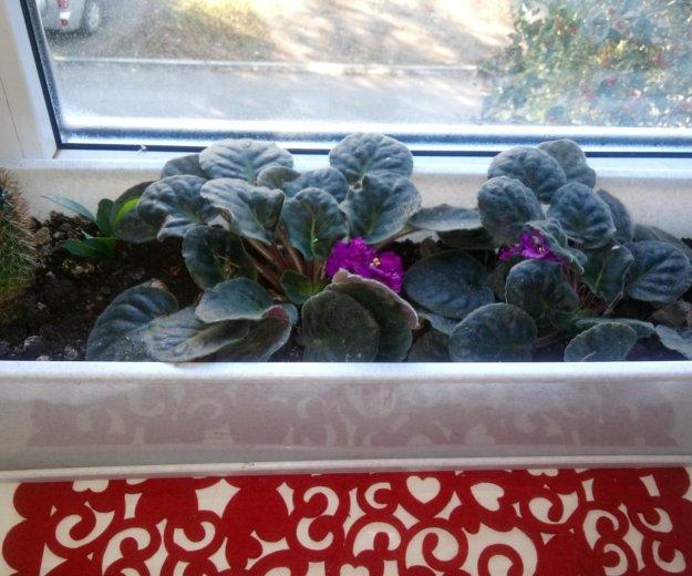Цветок узамбарская фиалка. Фото 1. Краснодар.