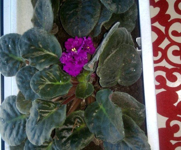 Цветок узамбарская фиалка. Фото 2. Краснодар.