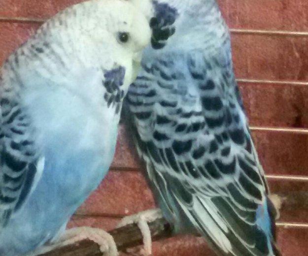 Попугаи выставочные чехи. Фото 1. Кемерово.