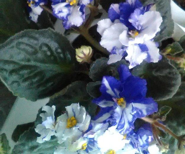 Цветы фиалки. Фото 1. Нижний Новгород.