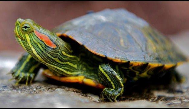 Красноухая черепаха. Фото 1. Волгоград.