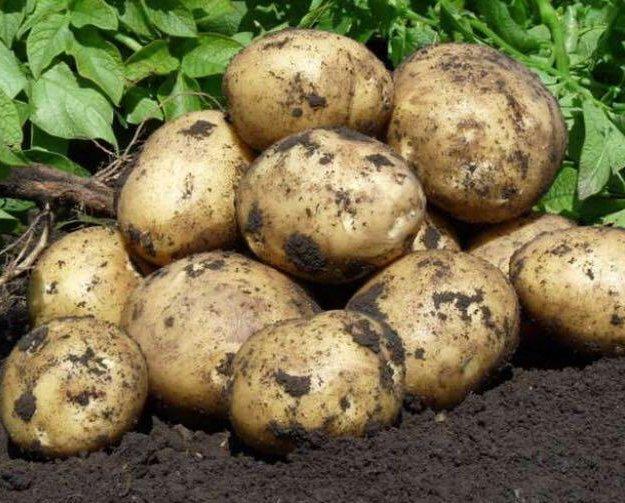 Картофель крупный (по ведру). Фото 1. Топки.