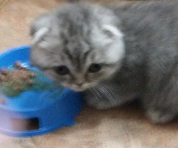Котёнок шотлан веслоух,. Фото 2. Пенза.