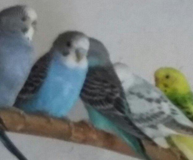 Птенцы волнистого попугая. Фото 1. Кемерово.