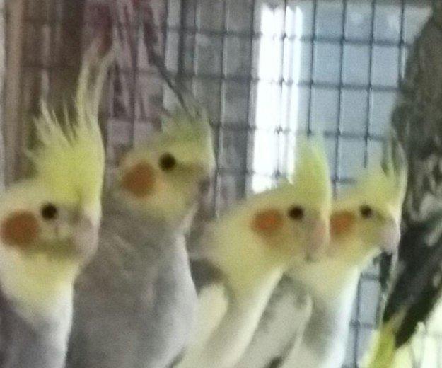 Птенцы попугая кореллы. Фото 1. Кемерово.