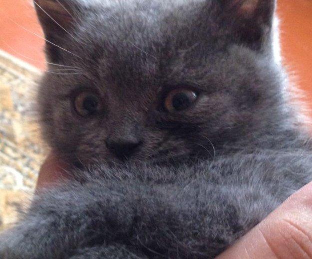 Продам британскую кошечку. Фото 1. Изобильный.