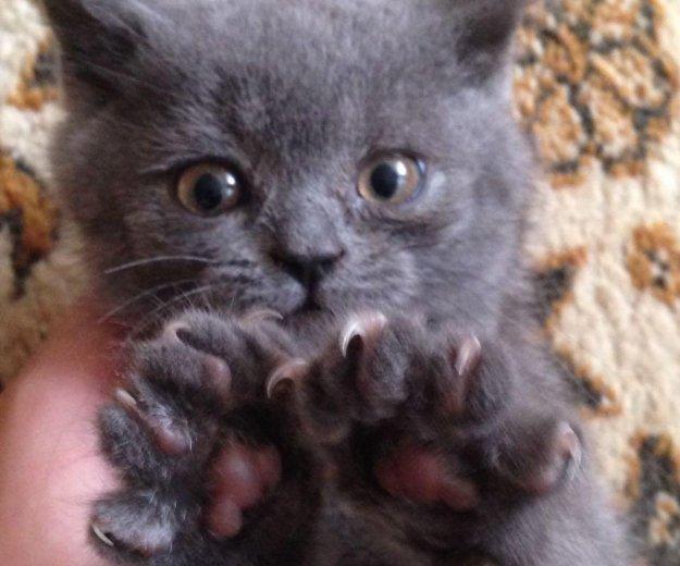 Продам британскую кошечку. Фото 4. Изобильный.