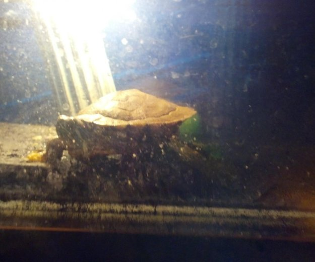 Красноухая черепаха + аквариум. Фото 3. Шебекино.
