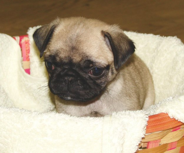 Продам щенка мопса, девочка бежевая. Фото 1. Тобольск.