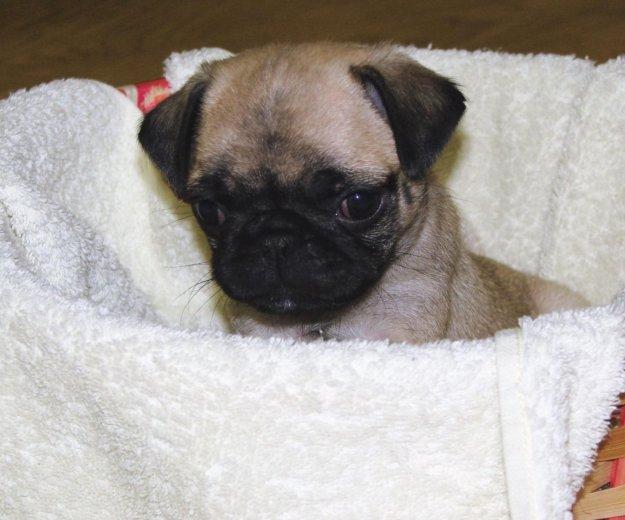 Продам щенка мопса, девочка бежевая. Фото 2. Тобольск.