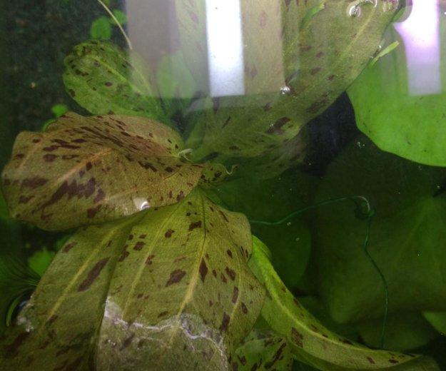 Эхинодорус ацелот. Фото 2. Зеленоград.