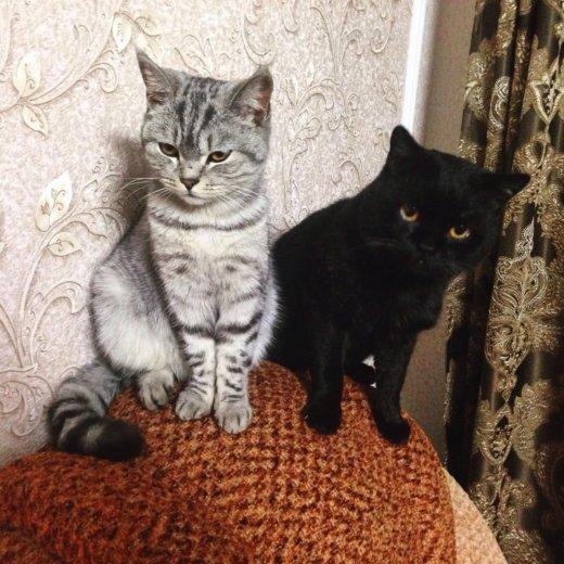 Британская кошка. Фото 1. Пенза.