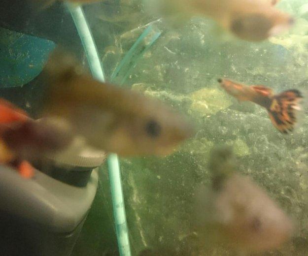 Рыбки гуппи. Фото 1. Москва.