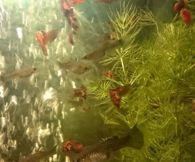 Рыбки гуппи. Фото 4. Москва.