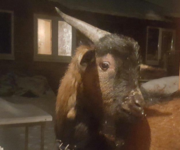 Камерунский козел. Фото 3. Ногинск.