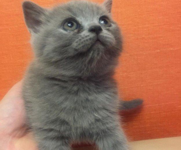 Британские котята. Фото 1. Пушкино.