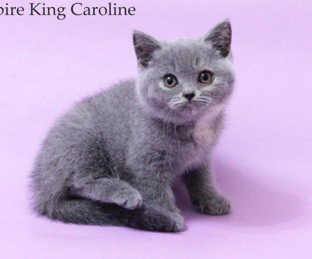 Британские плюшевые котята. Фото 1. Нижний Тагил.