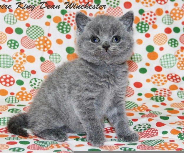 Британские плюшевые котята. Фото 3. Нижний Тагил.