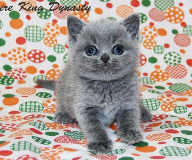 Британские плюшевые котята. Фото 4. Нижний Тагил.