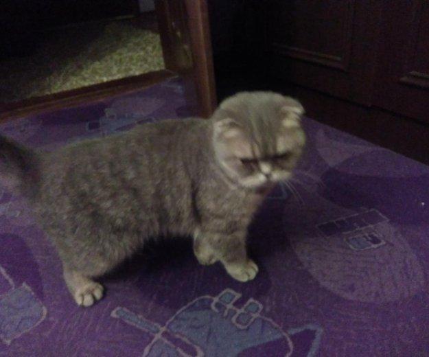 Британская кошка. Фото 2. Калининград.
