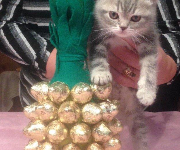 Британский котик. Фото 2. Ногинск.