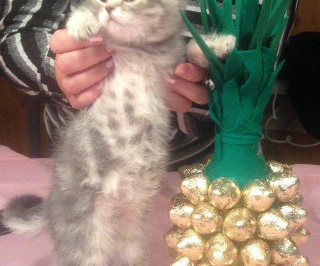 Британский котик. Фото 3. Ногинск.
