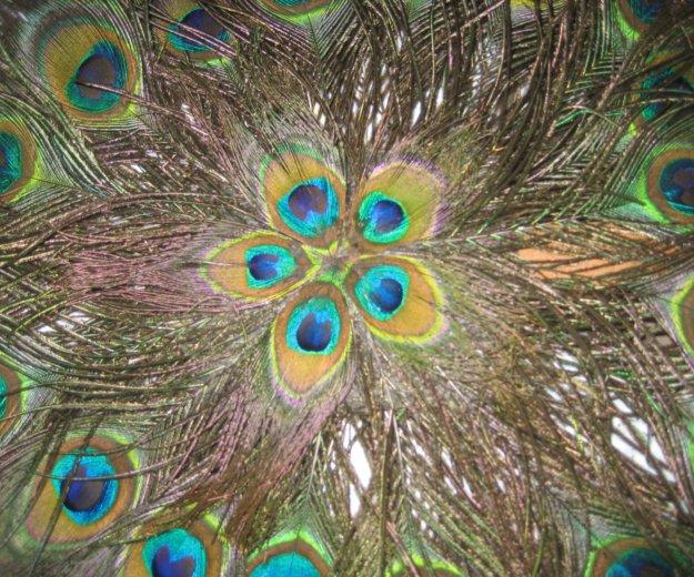 Веер из перьев павлина,новый. Фото 1. Москва.