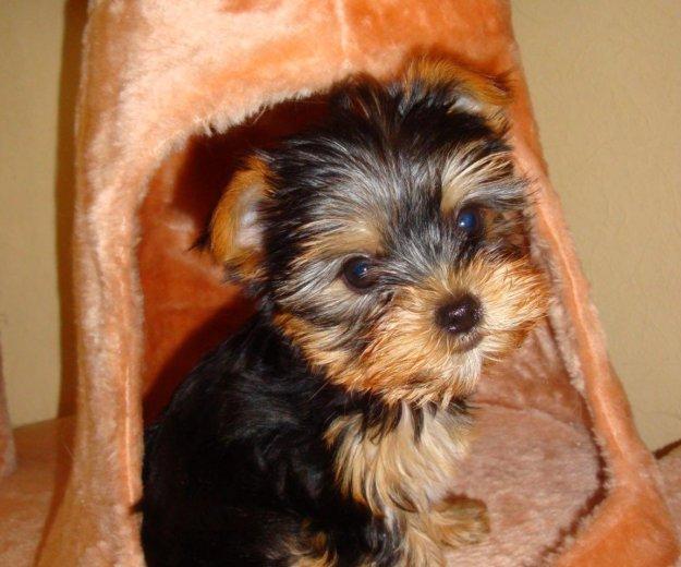 Йоркширской терьер,щенок. Фото 1. Азов.