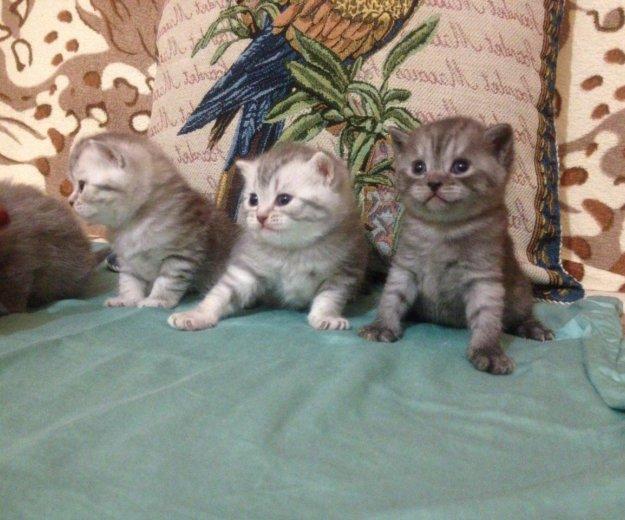 Британские котята. Фото 1. Красноярск.