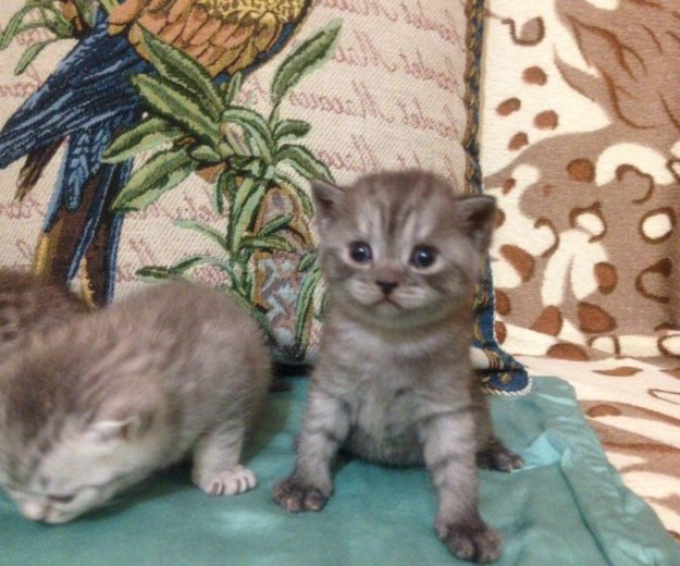 Британские котята. Фото 2. Красноярск.