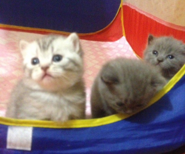 Британские котята. Фото 3. Красноярск.