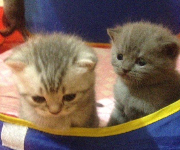 Британские котята. Фото 4. Красноярск.