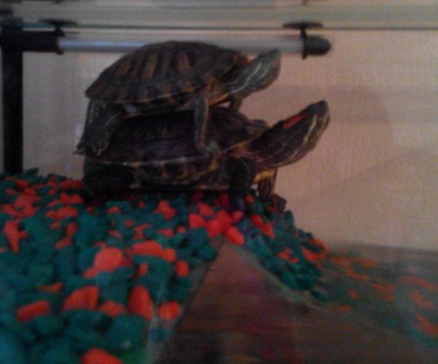 Красноухие черепахи. Фото 1. Ачинск.