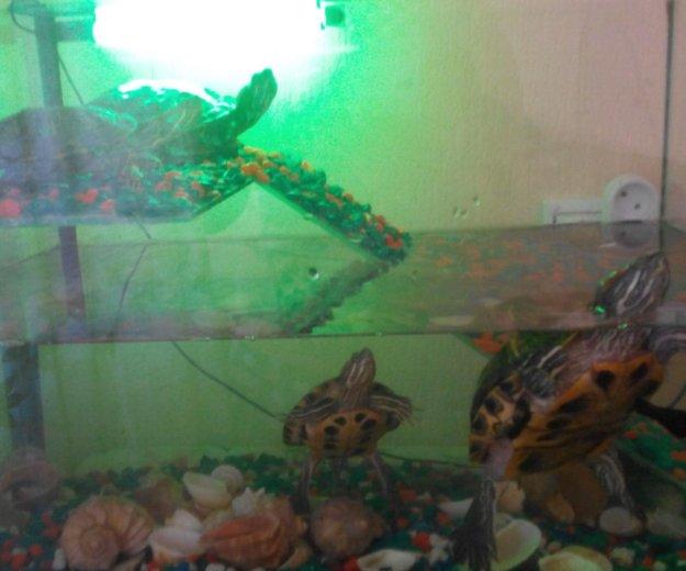 Красноухие черепахи. Фото 2. Ачинск.