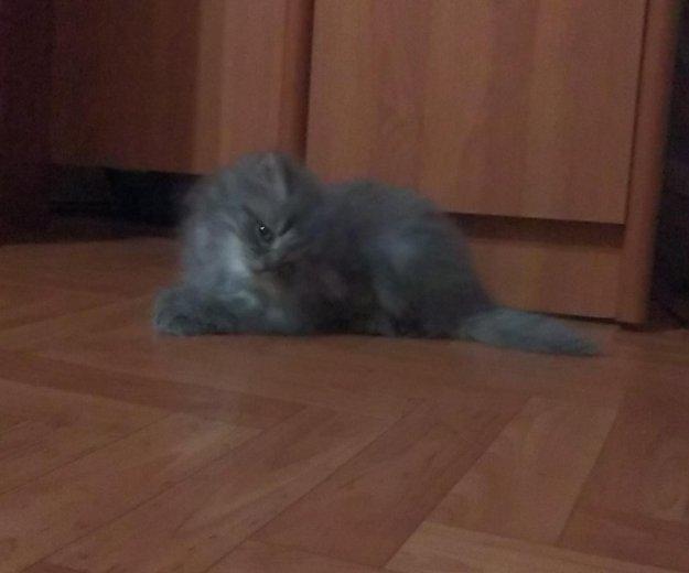 Сибирские котята(мальчики). Фото 2. Уфа.
