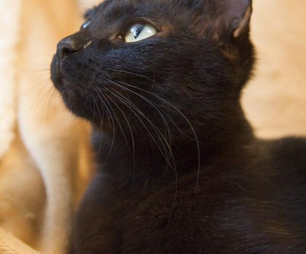 Черная красавица лоян. Фото 2. Тюмень.