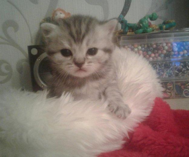 Британские котята. Фото 1. Саратов.