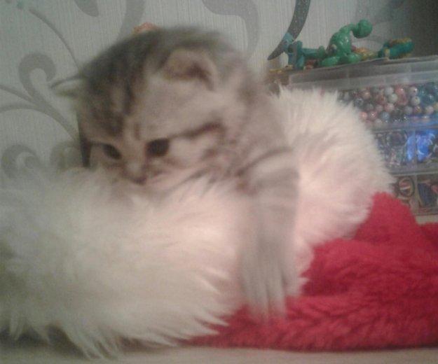 Британские котята. Фото 2. Саратов.