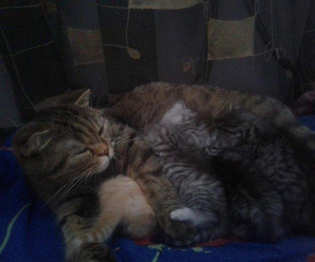 Британские котята. Фото 4. Саратов.