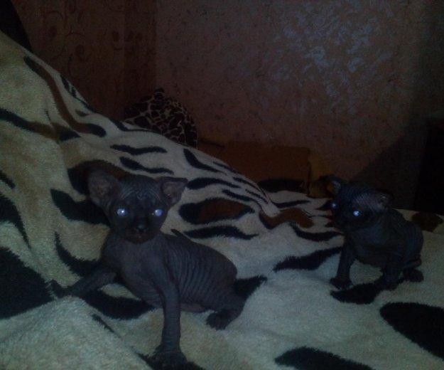 Кошечка сфинкс. Фото 3. Саратов.